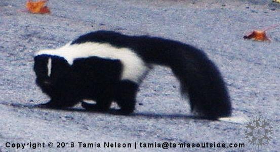 Pepe Skunk - (c) Tamia Nelson - Verloren Hoop - Tamiasoutside.com