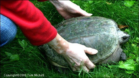 Kathy Michell Gives a Snapping Turtle a Helping Hand - (c) Tom Michell Image on Tamiasoutside.com