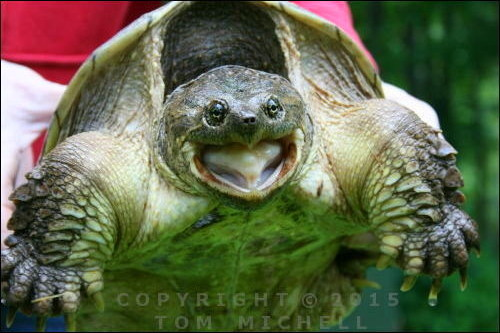 Snapping Snapping Turtle - (c) Tom Michell Image on Tamiasoutside.com
