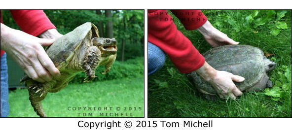 Settling a Snapping Turtle - (c) Tom Michell Image on Tamiasoutside.com