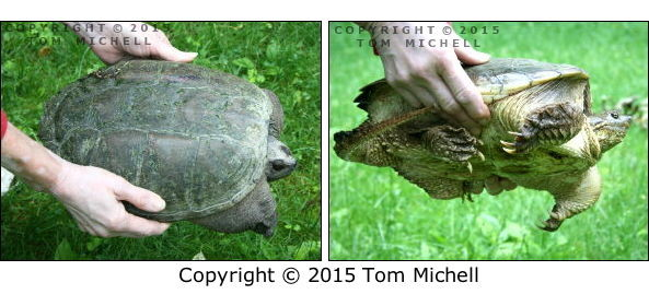 Lifting a Snapping Turtle Properly - (c) Tom Michell Image on Tamiasoutside.com