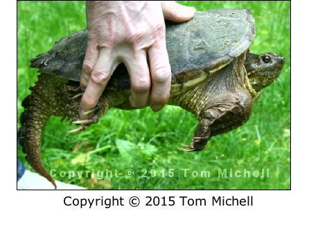 Lifting a Snapping Turtle - (c) Tom Michell Image on Tamiasoutside.com